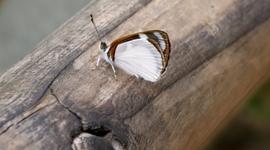Okolo vodopádov lietajú kŕdle motýľov