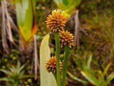 Praveké rastliny Roraímy