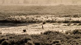 Patagónske brieždenie: lamovité guanaco